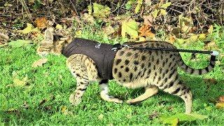 Autumn walk with Savannah cat