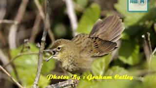 Suara Burung Kecici Belalang | Nyecret Durasi Panjang