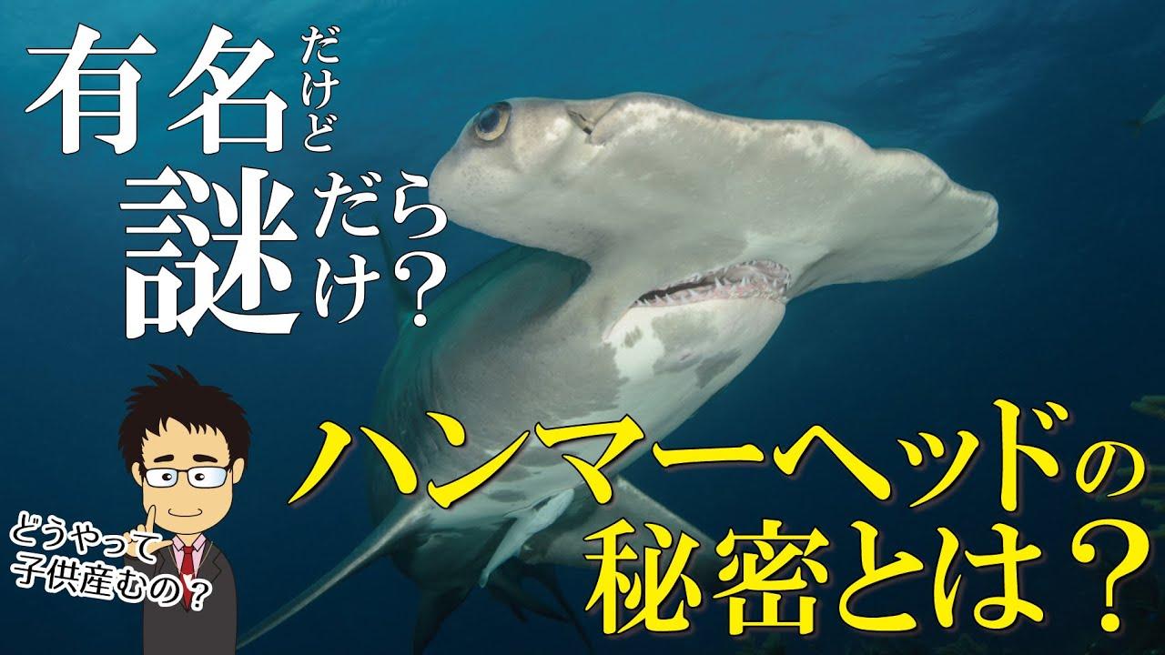 【あつ森でも人気】シュモクザメとは何者なのか?ハンマーヘッドの役割やその危険性、謎に満ちた生態を分かりやすく解説!