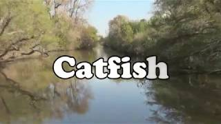 HUGE DELTA CATFISH ...  ON THE PROWL !