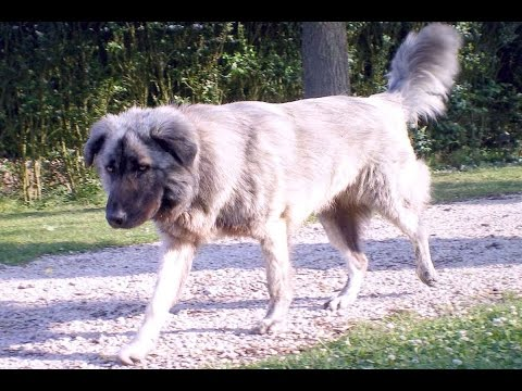Atlas Mountain. Dog (Aidi ) - Dog Breed