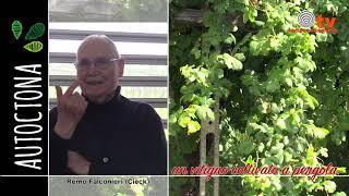 """La coltivazione """"a pergola"""" del vitigno erbaluce"""