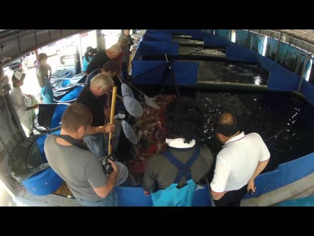 Sacramento Koi 2012 Koi Buying Trip Preview