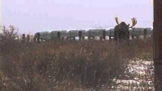 Bull Moose Charge.wmv