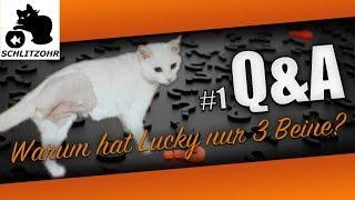 🔥Q&A #1 Eure Fragen: Warum hat Lucky nur 3 Beine? Unser DIY Balkonkatzennetz & die Rassen?!