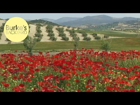 Burke's Backyard in Spain, Olives and Poppies in lime soils