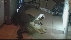 Giant gator breaks into Clearwater woman's home