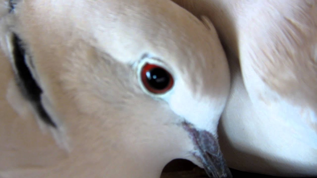 Doves Cooing Youtube