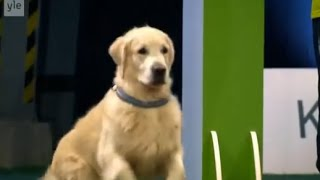 Golden Retriever Enters An Obedience Competition. The Results? Hilarious