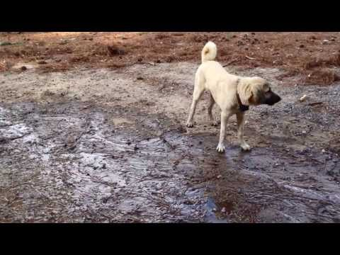 Anatolian Shepherds playing