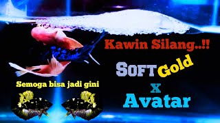 Ikan Cupang Kawin Kawin Silang Soft Gold Dengan Avatar Youtube