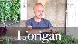Origan (Origanum vulgare) : bronchites, fièvres, douleurs articulaires