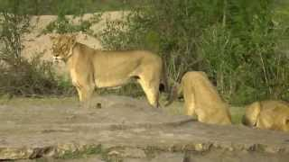 SOUTH AFRICA lion chasing away hyena and elephant at waterhole, Kruger park (hd-video)