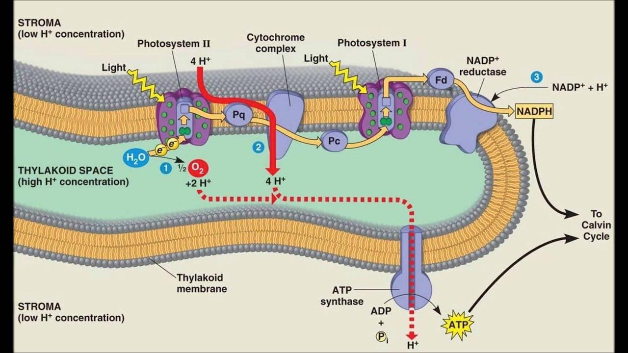 hight resolution of diagram of thylakoid