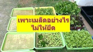 #เพาะเมล็ดผักอย่างไรไม่ให้ยืด #Hydroponic
