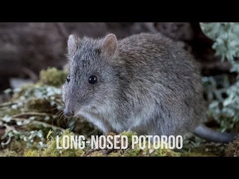 Long-nosed Potoroo - Conservation Ecology Center - Cape Otway