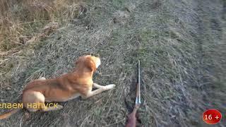 Охота с русской гончей Боба на зайца по чернотропу 16+