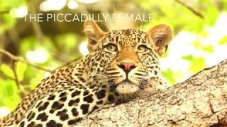 Leopards of MalaMala - Habitat: The Piccadilly female.