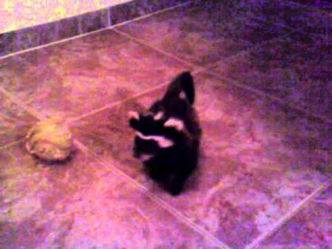 Marbled Polecat Pet