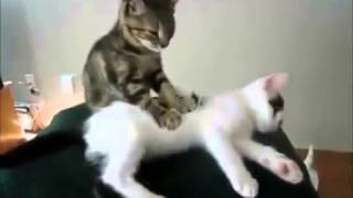 Приколы !!! Маленький котёнок делает массаж