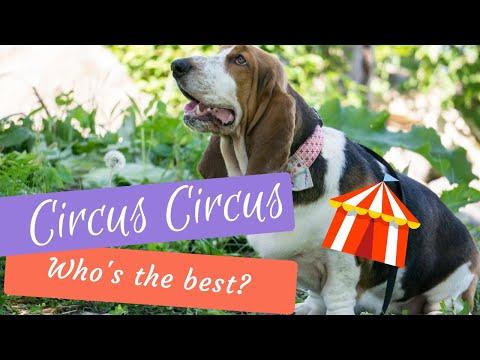 Basset Hound - Circus Circus !!
