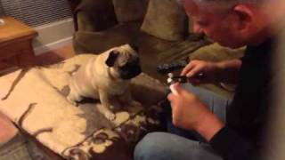 How to brush Pugs teeth.