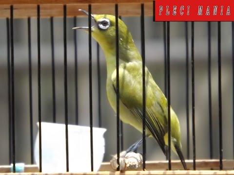 Cara Merangsang Burung Pleci Agar Cepat Buka Paruh