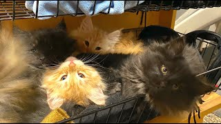 SKOGBERG CATTERY   NORWEGIAN FOREST CATS. Kittens grow so fast! WEEK 9