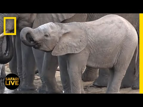 WATCH NOW: Safari Live   National Geographic