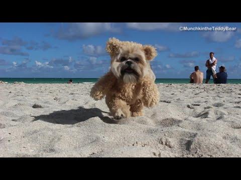 Munchkin in Miami