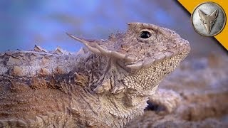 Regal Horned Lizard - How Coyote Got His Name!