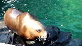 Steller Sea Lion Closeup