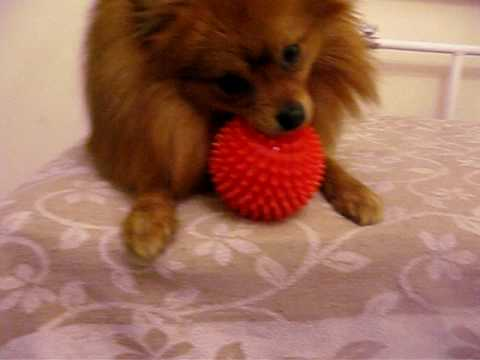Pomeranian playing with red ball - YouTube