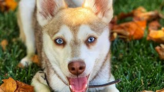 Alaskan Klee Kai  Top Dog Facts About the Klee Kai That You Must Know!