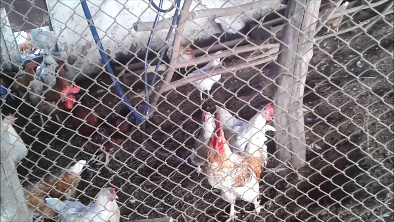 Как заработать  в деревне   Разведение кур и торговля яйцами   Экскурсия  в курятник