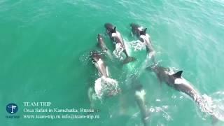 На Камчатке ученые впервые сняли на видео нападение плотоядных косаток на кита