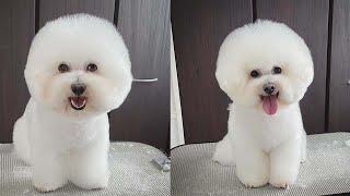 Bichon Frise puppy  dog breed videos