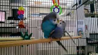 Parakeets mating, budgies mating