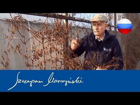 Lonicera - Жимолость - обрезка вьющихся кустарников