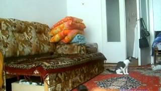 Кот гоняется за кроликом по квартире)))