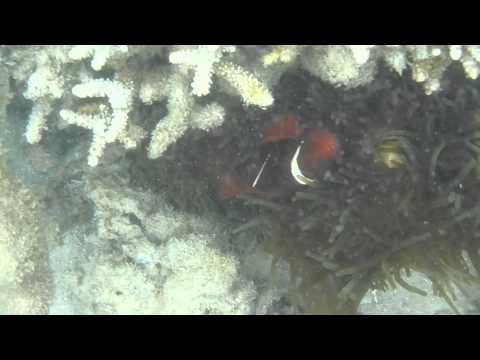 Clown Fish (Nemo) Taman Nasional 17 Pulau ,Riung,Ngada,NTT Part 2 (Pulau Rutong)