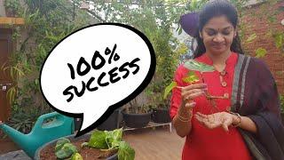మనీ ప్లాంట్ ను పెంచుకునే సులువైన పద్ధతి?How to grow money plant with 100% success#moneyplant #pothos