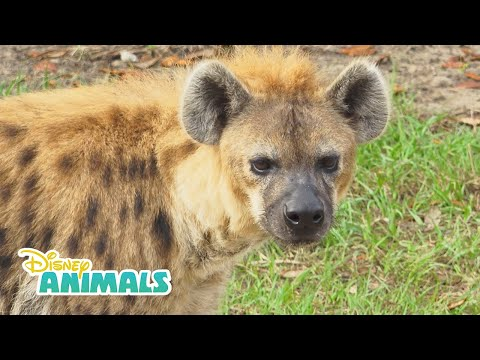 Hyenas! | Disney Animals | Disney Junior
