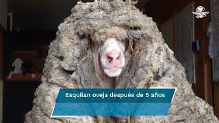 Tras escaparse, localizan a oveja con 35 kilos de lana en un bosque de Australia