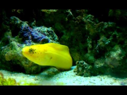 golden moray eel youtube