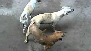 Dog sex.mp4