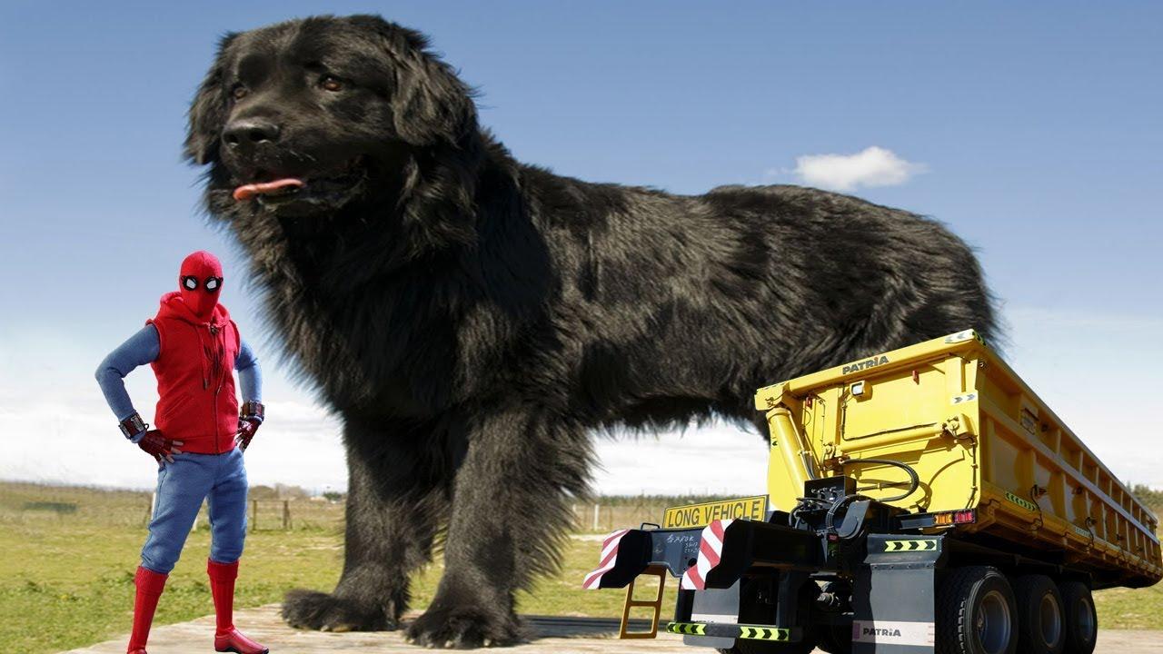 Largest Dog Breed