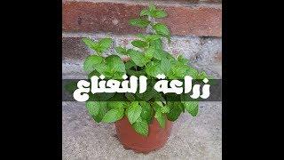 طريقة زراعة النعناع من حزمة نعناع من الخضري و كوب ماء فقط في اقل من 12 يوم !!