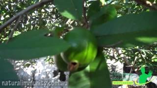 Guava (Psidium guajava)