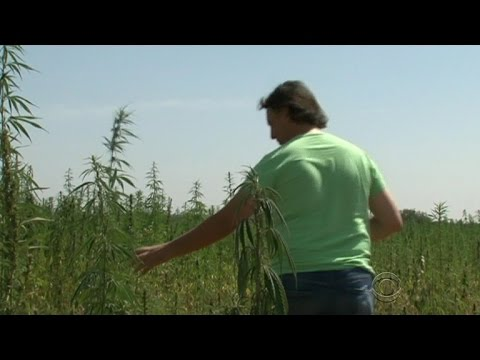 Italy farmers fight contamination with cannabis plant